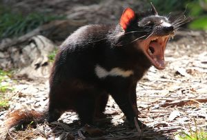 Tasmanian devils are the largest surviving carnivorous marsupial, and are know for their unearthly screams and howls as they squabble with each other over carcasses.