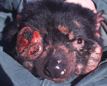 Devil facial tumour disease is a rare contagious cancer that first appeared in 1996, and has been traced to a single female Tasmanian devil. Devils bite each other frequently on the face, where large primary tumours often result in the animal starving to death.