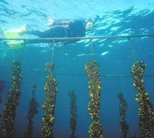 A scientist monitors mussel crop.