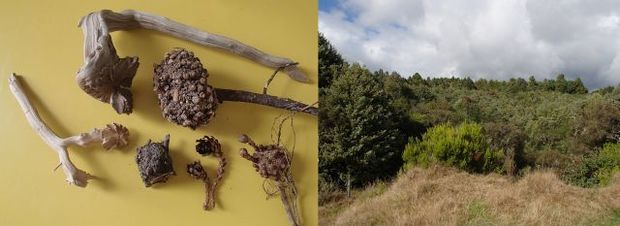 There are several wood roses pictured at left, as well as dead warty Dactylanthus tubers. Dactylanthus thrives in regenerating transition forest (at right), not in tall climax forest.