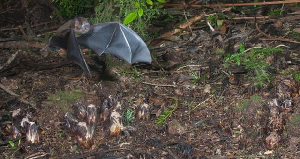 A short-tailed bat flies just above a group of Dactylanthus flowers on the forest floor at Pureora.