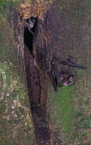 Short-tailed bats have an interesting breeding system: male bats sing to attract females to special singing roosts. The occupant of this small singing roost (at the top of the roost hole) watches as a visiting bat leaves, clinging onto the tree trunk with sharp double claws.