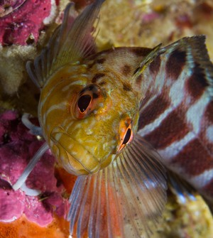 The mottled triplefin is usually found in the subtidal at depths of around 10 metres, and it is not tolerant of the low oxygen conditions found in rock pools.