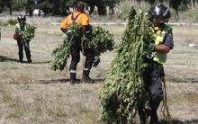 Unloading cannabis plants from a helicopter.