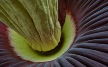 The base of the corpse flower when it bloomed in 2013.