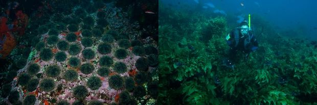 Kina or sea urchins graze the kelp and create 'kina barrens' when their predators such as snapper or crayfish are heavily fished. In fully protected marine reserves (right) large numbers of big predators remove the kina and allow the kelp forest to flourish.