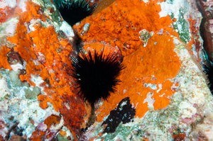 The long-spined subtropical urchin, Centrostephanus rodgersii, is becoming a problem in Tasmania and is increasing in numbers at the Poor Knights Marine Reserve.