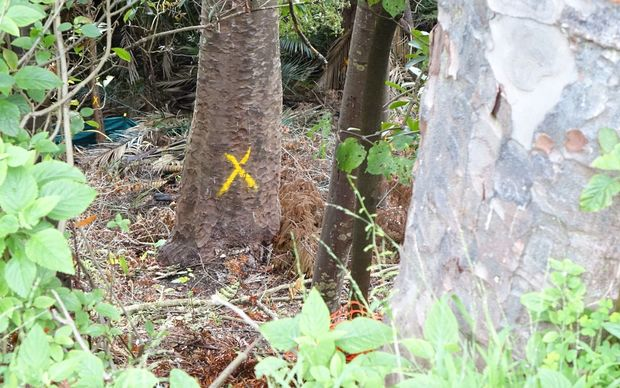 Kauri tree that Michael Tavares lived in for a few days in March.
