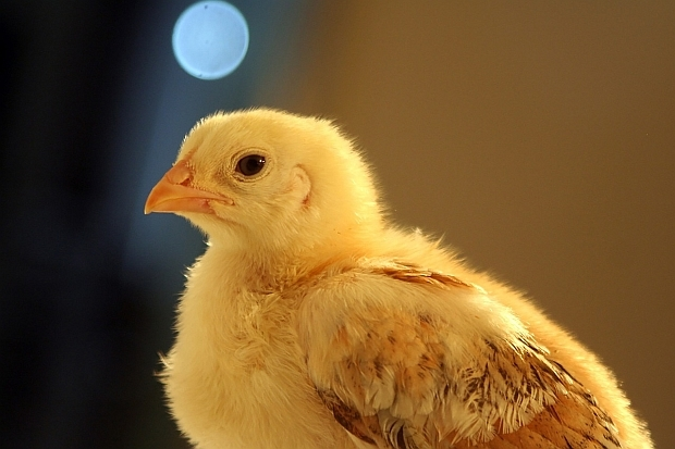 Young chicken.