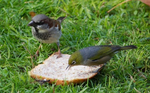 A House Sparrow and a Silvereye.