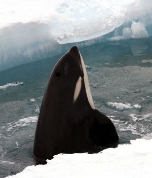 A curious orca spy-hopping out of a lead that has opened up in the sea ice in the Ross Sea.