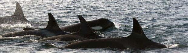 Photo-identification is the main non-invasive technique that researchers use for identifying orca. Individuals can be told apart by subtle differences in colouration, nicks on the dorsal fin and scars.