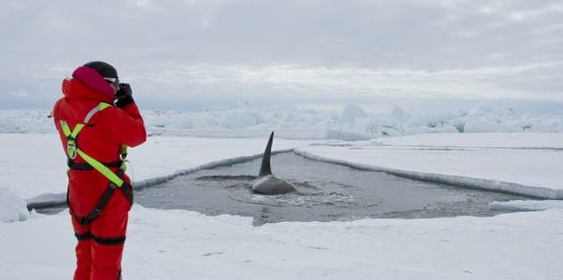 Antarctic Type-C orca have learnt that, each summer, an icebreaker makes a shipping channel through the Ross Sea sea ice up to McMurdo Station, and it's thought they take advantage of this to come into shallow water to hunt Antarctic toothfish.