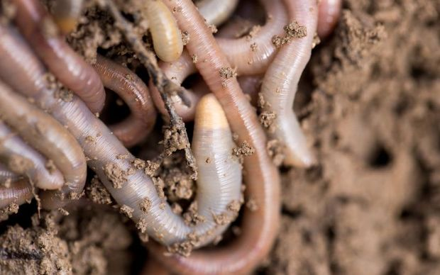 Earthworms on soil.