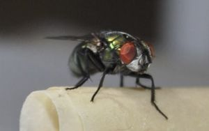 The Lucilla cuprina, known as the blowfly.