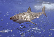 The Great White shark is one of the seven species under threat.