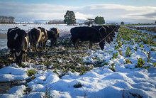 Cows eating a snow dusted crop in Southland.