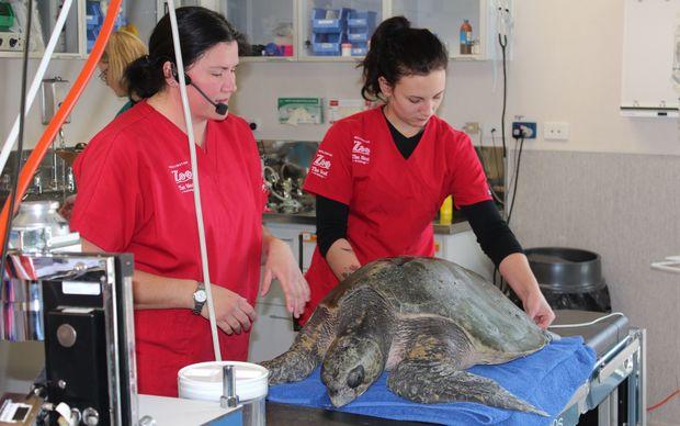 Lisa Argilla and veterinary nurse Sam Hector tending to the turtle at Wellington Zoo.