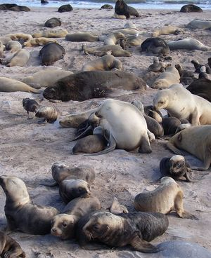 Sandy Beach on Enderby Island is one of the key rookeries for New Zealand sea lions. Over the last 15 years the number of  sea lion pups produced at the Auckland Islands has halved.