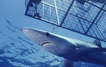 Blue Shark (Prionace glauca) an open ocean predator, swimming near diver in cage, California.