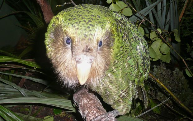 There are only 125 kakapo left.