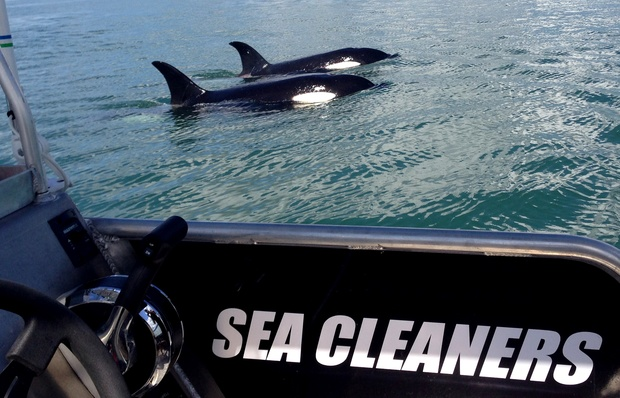 During one of the clean-up trips earlier this year, the team spotted orca in Manukau Harbour.