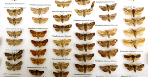 A photo of moths in the Ken Fox collection