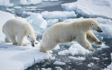 Polar bears across the Arctic region face a shortage of food in the summer due to increased melting of ice.