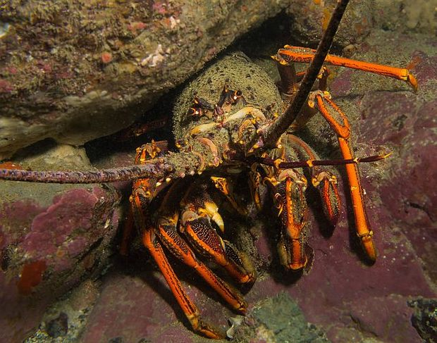 Large crayfish are capable of eating quite large sea urchins, and are effective at controlling sea urchin populations.