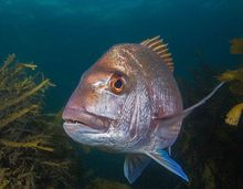 Large predatory snapper are a rare sight in the Hauraki Gulf these days due to heavy fishing pressure, but they are common inside marine reserves such as the Goat Island marine reserve at Leigh.