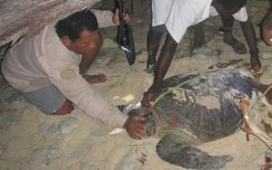 Workers on the Arnavon islands find a turtle among the debris