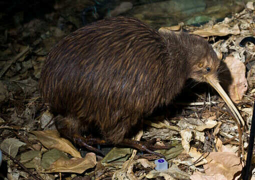 The North Island brown kiwi is one of five species of kiwi, and the first to have its genome sequenced