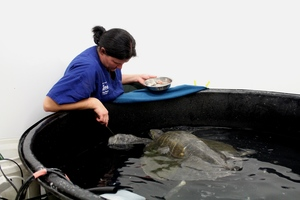 Sea turtle Ridley recuperates in Wellington Zoo with Dr Lisa Argilla.