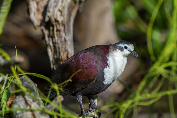 The critically endangered Polynesian Ground Dove. Known locally as Tutururu