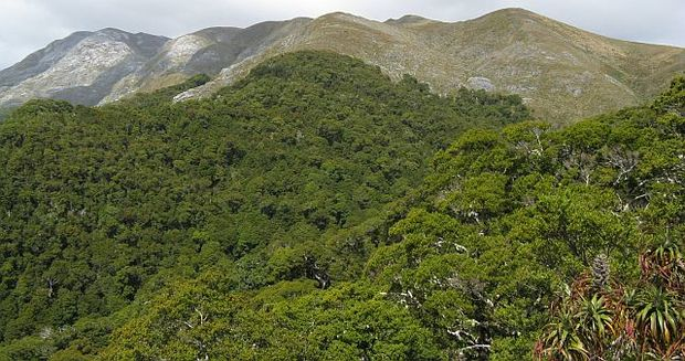 View across beech forest to mountain tops - the Arthur Range in Kahurangi National Park