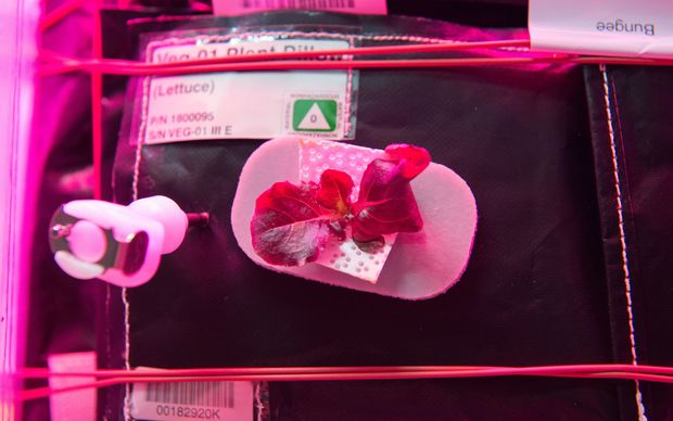 Lettuce growing during the VEGGIE hardware validation test aboard the International Space Station.
