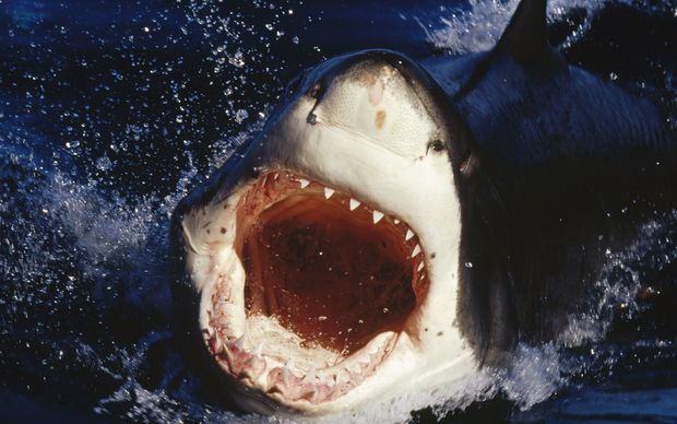 A Great White Shark attacks in South Australia.