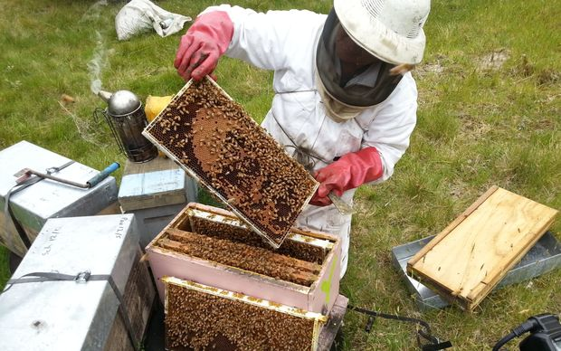 A beekeeper inspects a hive.