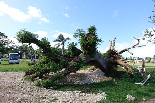 Cyclone Pam destroyed homes and crops, but in a sign of recovery, uprooted trees are sprouting leaves again.