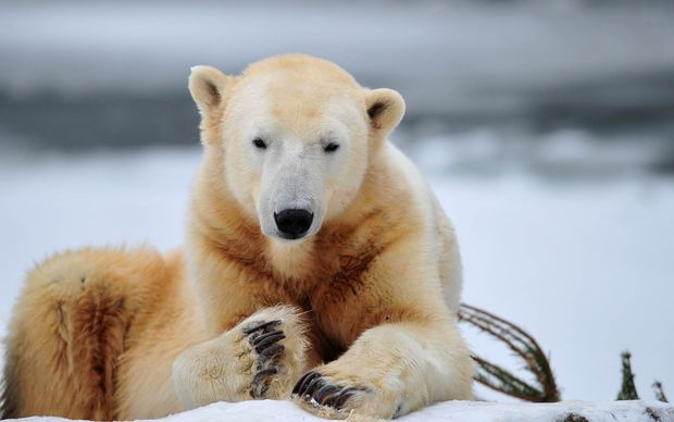 Knut the polar bear in 2010.