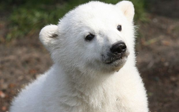 Three-month-old Knut the polar bear in 2007.