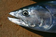 bonito / skipjack tuna - file photo