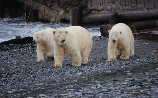 Five of the polar bears in the region have been getting dangerously close to staff at the station.