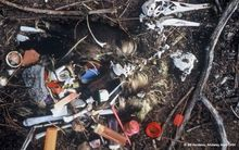 The remains of an albatross with the plastic debris that was inside it, taken in the 1990s.