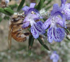 A honeybee forages for pollen on a rosemary flower.