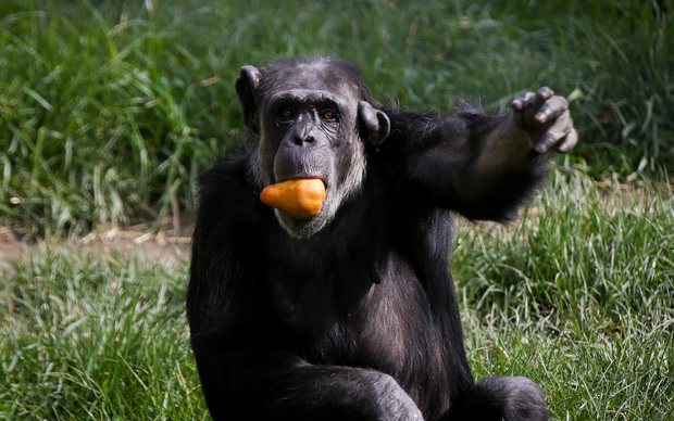 Cara the 33 year old chimp loves a juicy pear at Wellington Zoo.