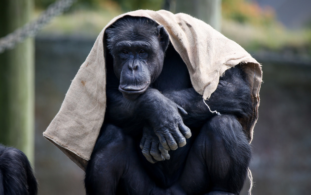 A chimpanzee wearing this summers season weaved sack available at Wellington Zoo.