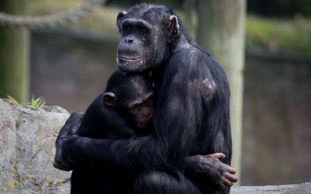 Mother and baby Chimp at Wellington Zoo.
