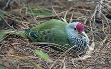 The Mariana fruit dove is native and endemic to Guam and the Northern Marianas Islands in the Pacific.Feb 2012