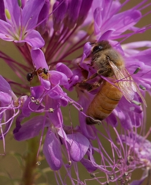 A honey bee and ant foraging on the Rocky Mountain bee plant.